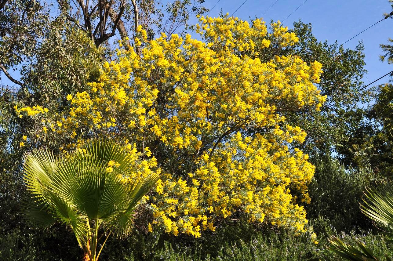 Acacia Saligna Golden Wreath Wattle Has Long Skinny Leaves And Bright Yellow Blooms Xanthophloea Fever Tree Bark Is Distinctive With