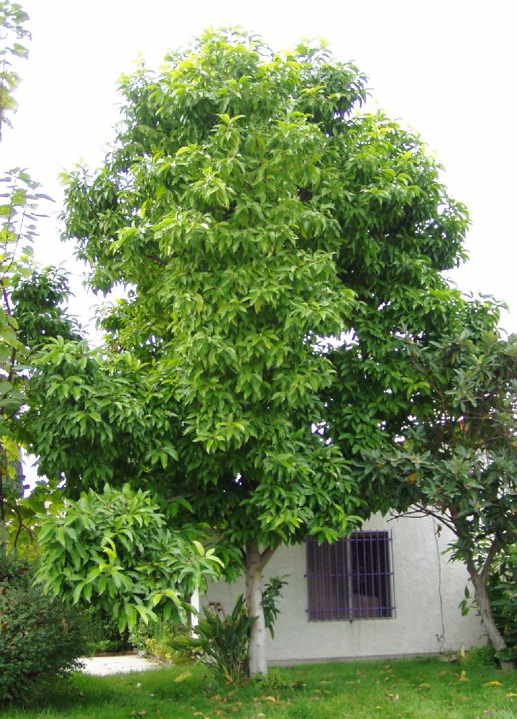 how to grow aguacate tree