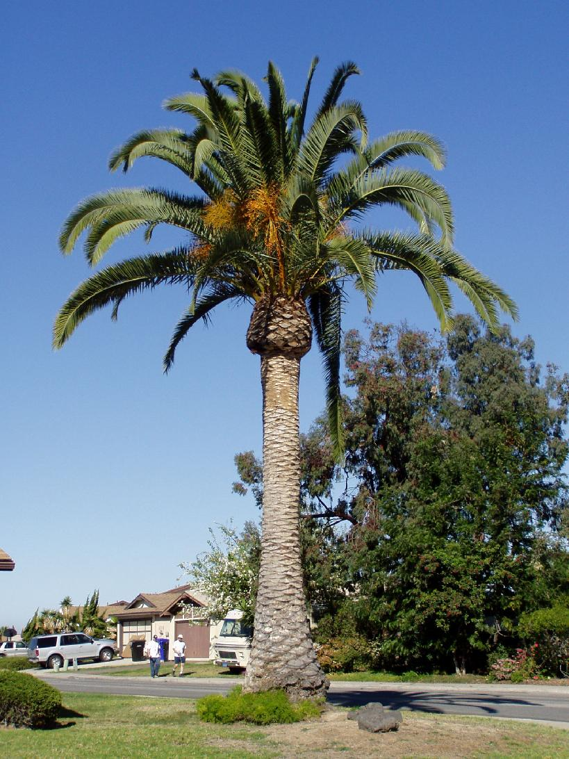 Canary Island Date Palms For Sale In South Florida
