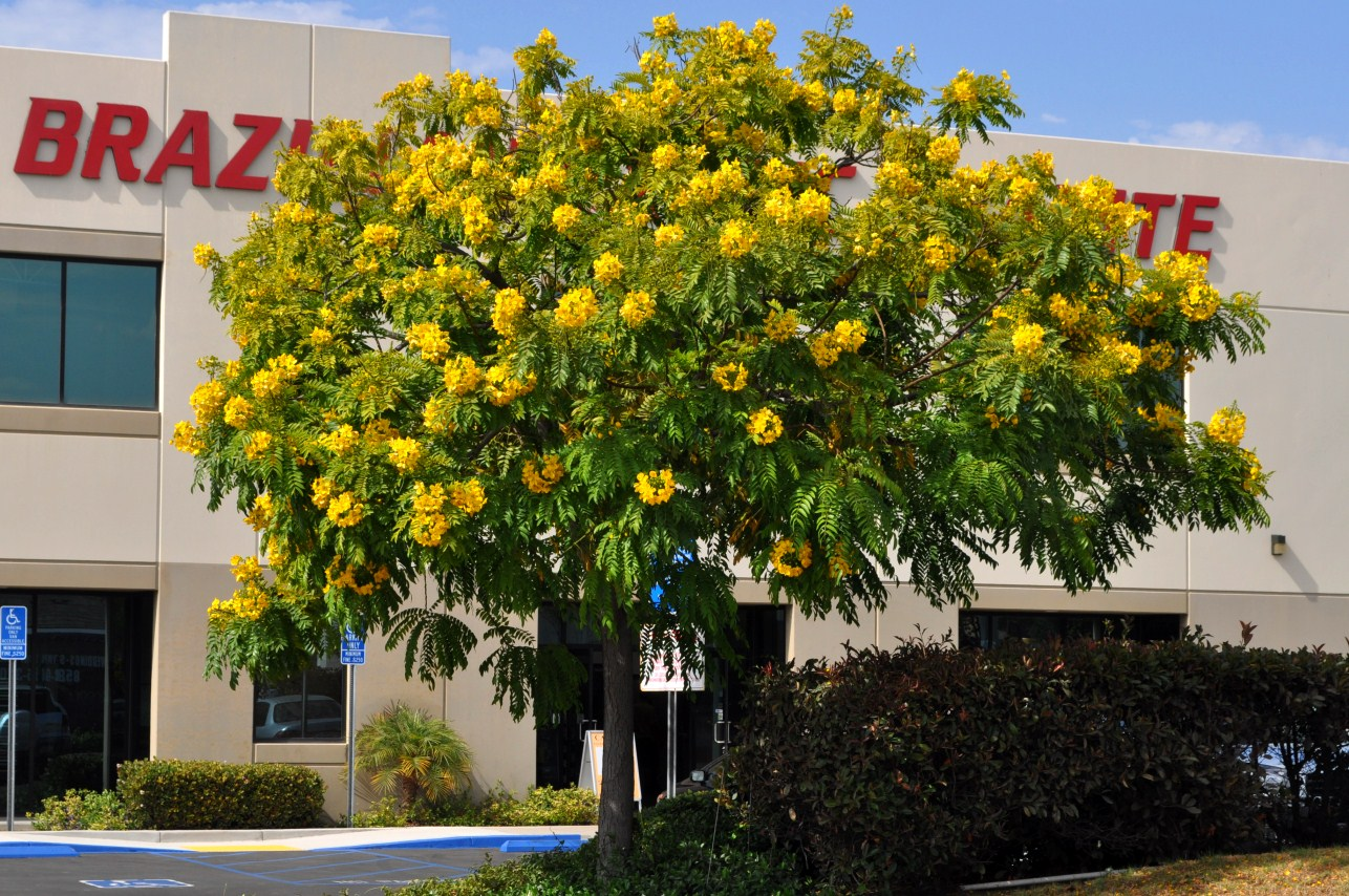 San diego plant pictures cassia leptophylla gold medallion tree mightylinksfo Image collections