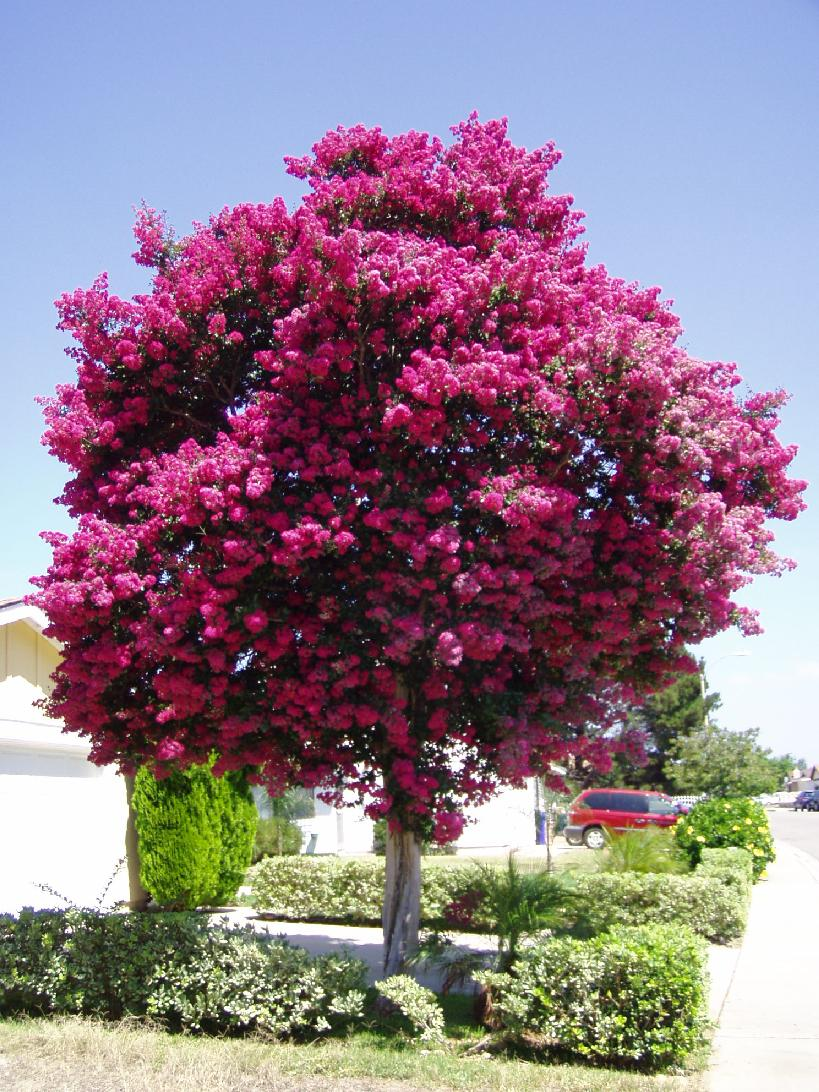 Lagerstroemia indica na - Rododendro arbol ...