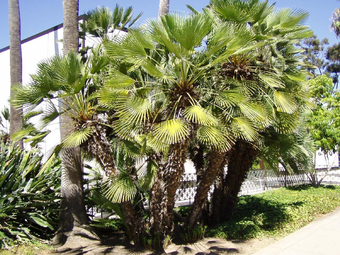 Fan Like Palm Fan Palm