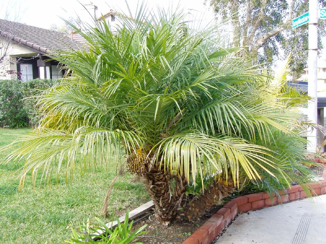 how to grow robellini palms from seed